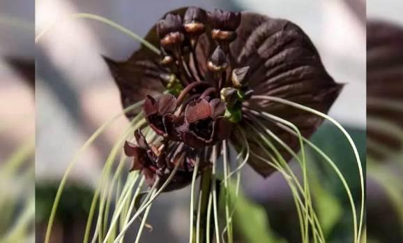 jenis bunga anggrek hitam