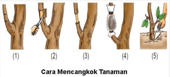 cara mencangkok pohon mangga baik dan benar